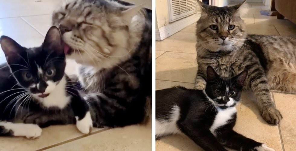 Cat Insists on Caring for Three-legged Kitten Who Was Found Wandering the Streets